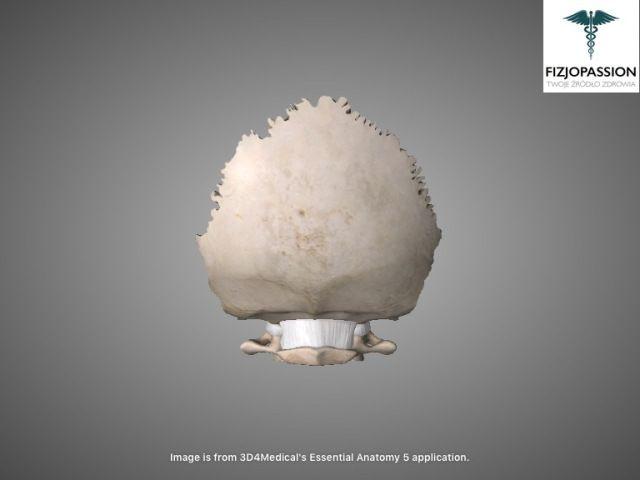 Articulatio atlantooccipitalis posterior view / Staw szczytowo-potyliczny widok z tyłu