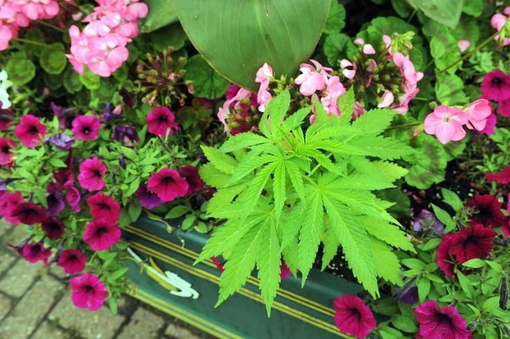 """Mais de vinte plantas de maconha foram encontradas no centro de Newport, no País de Gales, em seis vasos públicos da cidade. As plantas foram descobertas por comerciantes locais, que tiraram fotos da planta e as descreveram como """"bonitas e que se destacavam maravilhosamente"""" (tradução livre). Depois, o jornal Wales Online foi ao local e...<br /><a class=""""more-link"""" href=""""https://catracalivre.com.br/geral/sustentavel/indicacao/maconha-e-encontrada-em-vasos-publicos-no-pais-de-gales/"""">Continue…"""