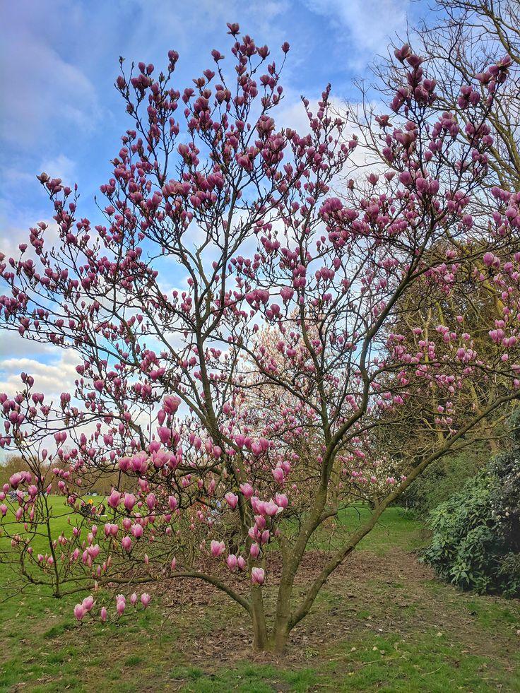 Cherry Blossom at Greenwich Park [3036x4048] [OC] Music