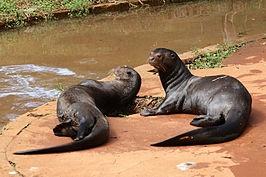 De reuzenotter (Pteronura brasiliensis of Pteroneura brasiliensis), in Suriname ook wel grote waterhond genoemd, is een Zuid-Amerikaanse ottersoort. Dit dier is de grootste ottersoort en behoort samen met de veelvraat en de zeeotter tot de grootste marterachtigen. Vergiftiging van vissen en otters met kwikzilver, in het water terechtgekomen door lozingen van goudmijnen, speelt een rol bij de achteruitgang, evenals verstoring door toerisme.
