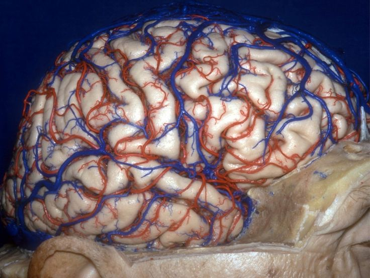 The anatomy of the brain comes to life in these 3D images, revealing bright blue-and-red blood vessels, optic nerves crisscrossing on their way from the eyes to the brain, and other typically hidden delicate brain structures.