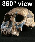 360°  View  Hominid Homo rudolphensis KNM-ER 1470 (A)