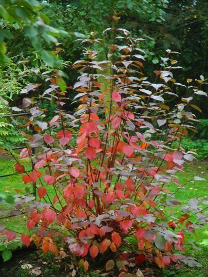 Bluebell Nursery Trees Shrubs Cornus Alba Kesselringii