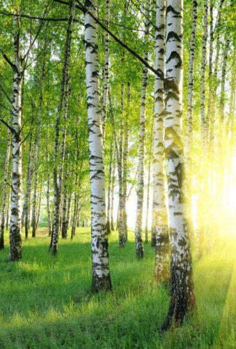 Fototapete Bild Tapete BIRKEN 170x250cm Poster Wald Natur Sonnenaufgang Bordüre
