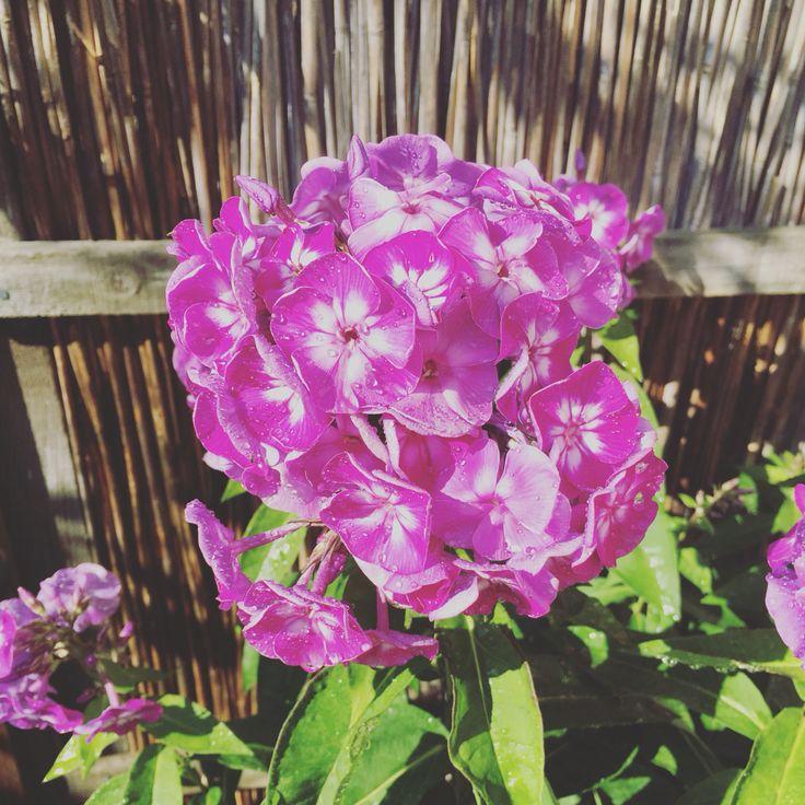 Pink flowers #flower