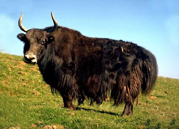 Yak - Wild yaks are found primarily in northern Tibet and ...