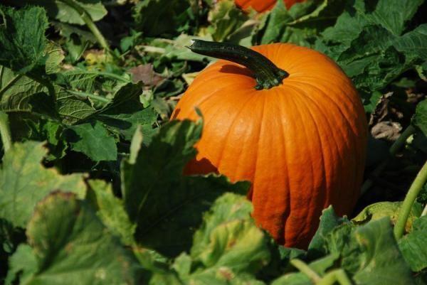 Como cultivar abóboras. A abóbora é um vegetal muito fácil de cultivar, com o qual pode fazer uma grande quantidade de pratos e sobremesas. Da mesma forma, existem muitas variedades de abóbora, de várias cores (laranjas, ver...