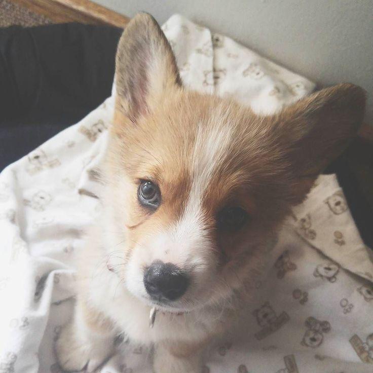 My oh so little cutie. #corgi #corgisofinstagram #corgipuppy #dogsofinstagram #instapup #ohsocute #littlegirl #mygirl #furbaby #babygirl