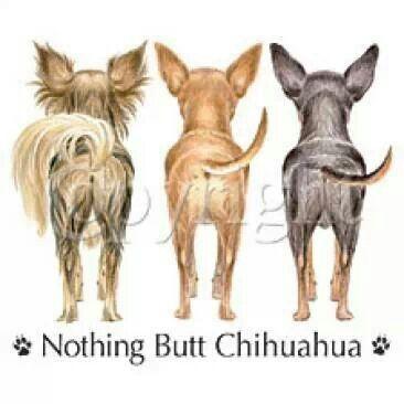 mexico Chihuahua   Chihuahuas Chihuahua    black   paloma
