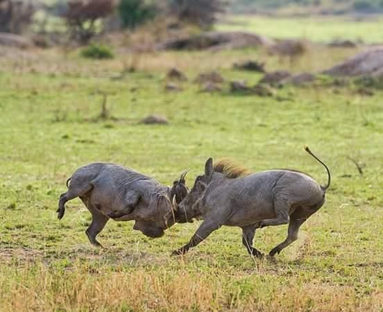 Warthogs, Arusha National Park, Tanzania