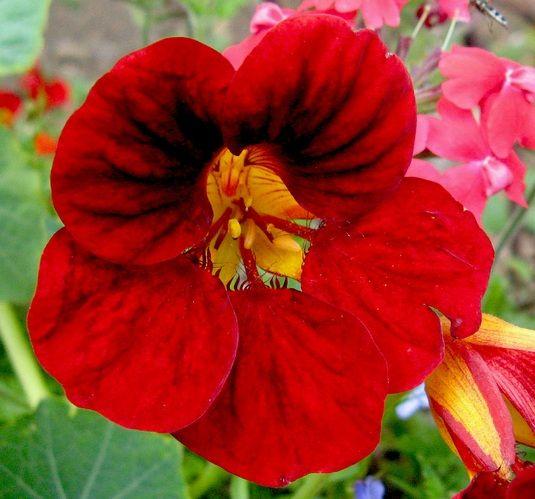 Cara Menanam  Bunga Nasturtium dari Biji - http://bibitbunga.com/blog/cara-menanam-bunga-nasturtium-dari-biji/