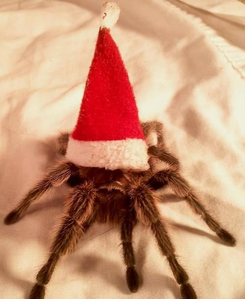 Christmas Tarantula -  THE CUTEST THING EVA