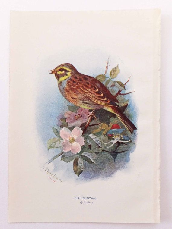 Cirl Bunting Bird Picture Antique Bird by PeonyandThistlePaper, £6.00