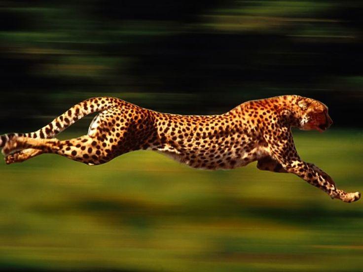 Hunting Cheetah - Serengeti NP - Tanzania