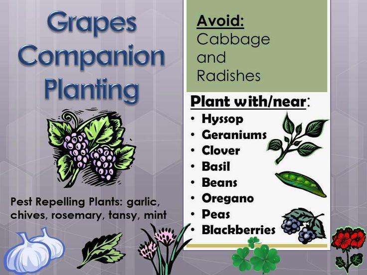 grape companion planting