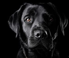 very cool picture!: Black Labrador Retriever, Friends, Black Labs And Brown Labs, Dániel Gáti, Black Dogs, Beautiful, Blacklabs, Puppies Labrador, Animal