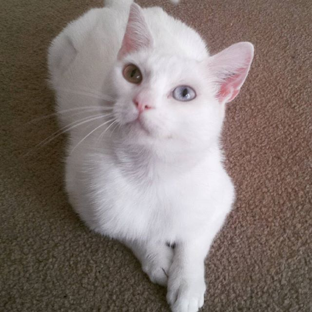 More #kittyspam! She's too cute not to!! #catstagram #catsofinstagram #catsofmelbourne #instacat #whitecat #bowieeyes #ziggystardust #catprotectionsociety #adoptdontshop