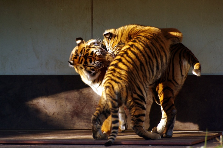 Fighting tigers 1