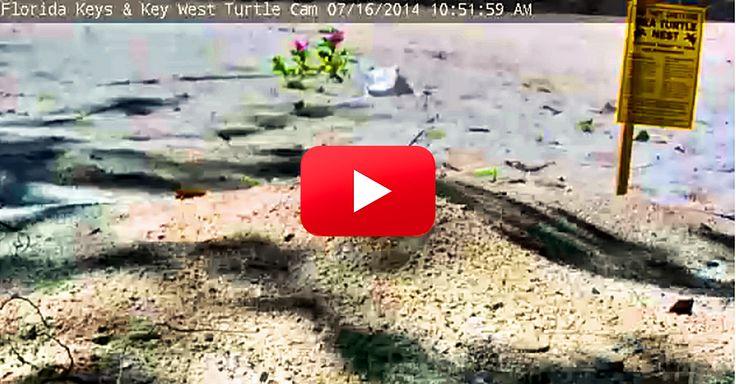 Sea Turtle Nesting West Palm Beach