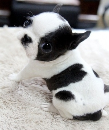 Boston terrier pup, stop my beating heart!!! I want this puppy!!!!