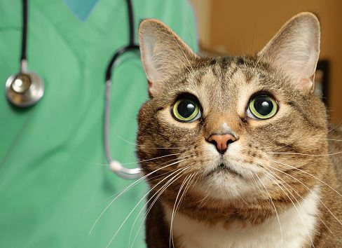 Pin On Common Injuries And Infections In Cats