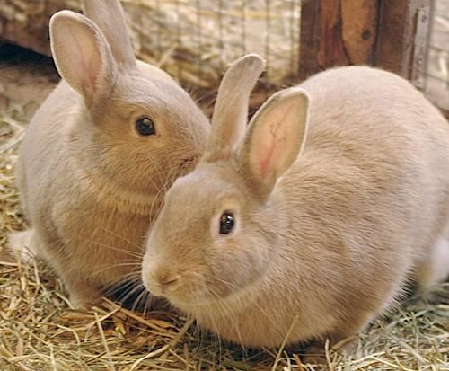 """Meet Olivia & Remmy a Petfinder adoptable Palomino Rabbit   Goleta, CA   Olivia & Remmy (short for Remington) are """"look alike""""  brother & sister, both under a year old...."""