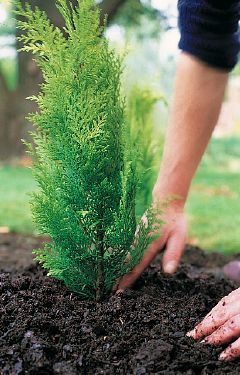 Best Conifer Choices for Landscapes: Two conifer experts share the best choices for landscaping.
