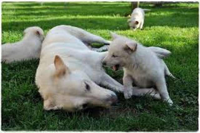 . Regalo cachorros palleiro, solo a personas que prometan cuidarlos