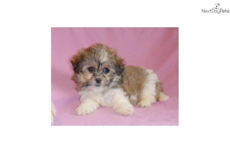 Shichon puppy for sale near Akron / Canton, Ohio | 9ff26b17-40d1