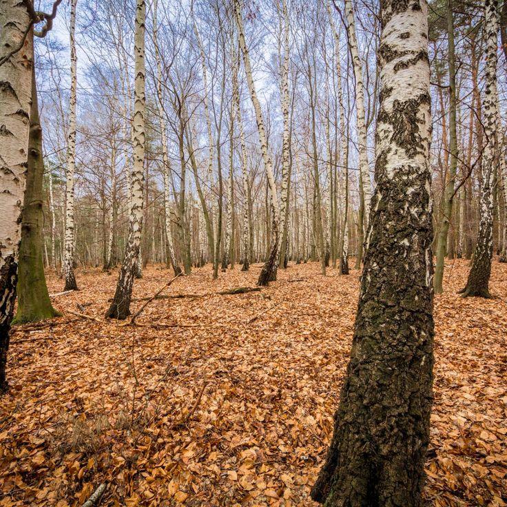 Bild 37 - Zadlitzbruch in der Dübener Heide bei Torgau | © Michael Eichhorn #zadlitzbruch #dübener_heide #naturschutzgebiet #sachsen #saxony #ausflugsziel #torf #moor #hochmoor #wandern #dübenerheide #duebenerheide #torgau #baddueben #baddüben #wald #sumpf #sumpfgebiet #natur #naturschutz #reservat #biosphäre #biosphere #farn #naturpark #falkenberg #trossin #dresden #nordsachsen #leipzig #sehenswürdigkeit #ziel #sonnentau #sumpfdotterblume #kranich