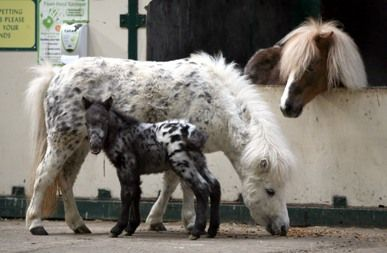 The Falabella miniature horse is one of the smallest breeds of horse in the world, seldom taller than eight hands (78 cm/32 inches) in height at the withers. The Falabella is a rare breed, with only a few thousand individuals existing worldwide. The Falabella, despite its size, is not considered a pony, but rather is a miniature horse.