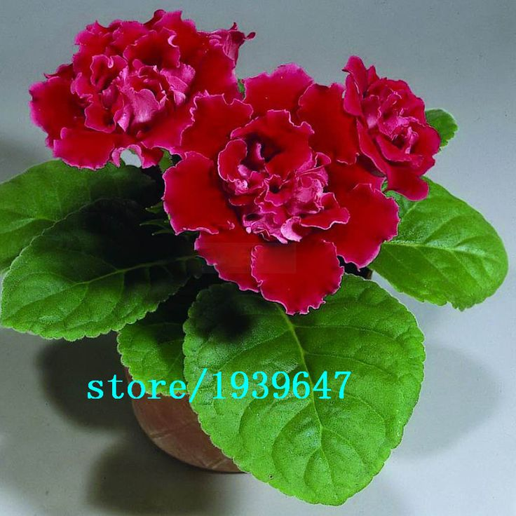 Hot Sale Red Gloxinia Seeds Perennial Flowering Plants Sinningia Speciosa Bonsai Balcony Flower for DIY Home Garden 100 PCS #>=#>=#>=#>=#> Click on the pin to check out discount price, color, size, shipping, etc. Save and like it!