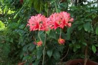 hibiscus-schizopetalus.jpg