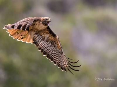 Photo: Majestic Red-tail Hawk calls out mid-flight