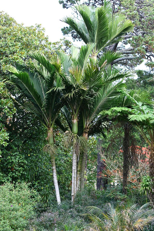 Native Palm Tree, Norfolk Island