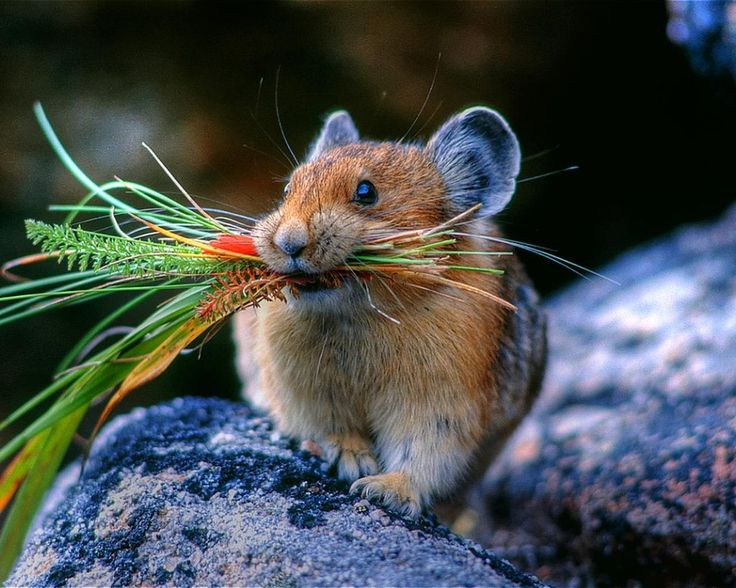 biology-online:  Pikas prepare for winter by collecting grasses and wildflowers, then lay them out to dry in the sun before storing them so they don't mold.