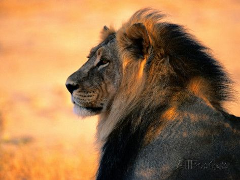 Adult Male African Lion Photographic Print by Nicole Duplaix at AllPosters.com