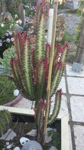 Euphorbia...