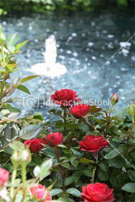 Róże z fontanną w tle. Florystyczne kompozycje na #InteractiveStock