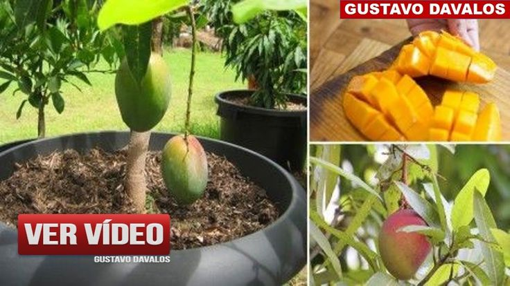Mira Cómo Puedes Cultivar Mango En Una Maceta Para Tener Siempre En Casa...