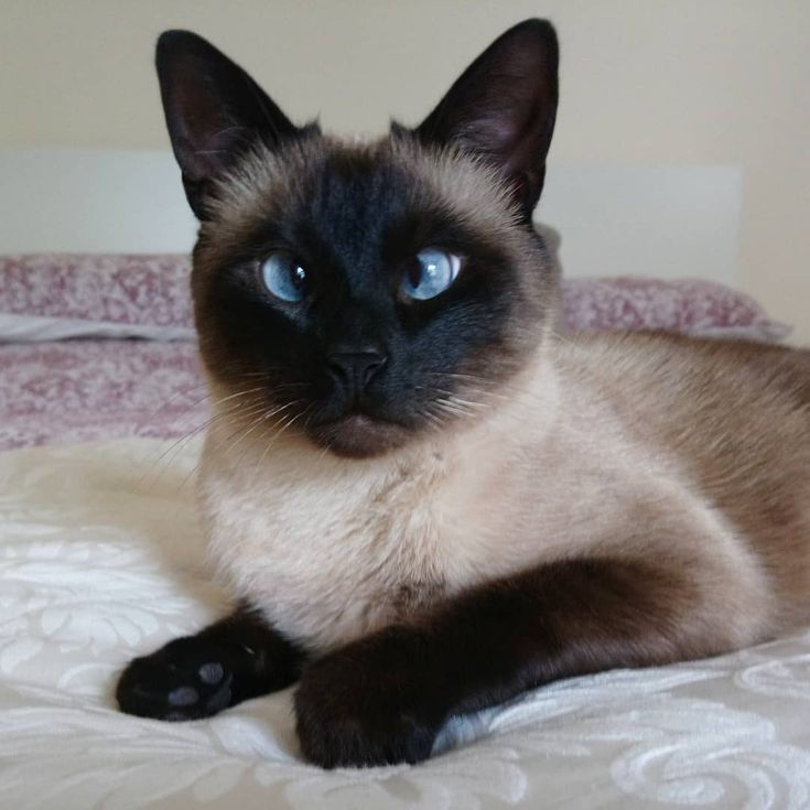 7 Mysteriously Beautiful Siamese Cats And Kittens Siamese Cats For Sale Siamese Kittens Cat Breeds