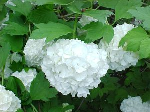 Bola-de-neve (Viburnum opulus) Planta nativa da Adoxaceae, nativa da Europa e Ásia. Trata-se de um arbusto florífero cultivado como ornamental em países de clima subtropical a temperado. Floresce do fim da primavera ao verão, despontando inflorescências, com numerosas flores hermafroditas, de cor branca e delicadamente perfumadas. Suas flores são dobradas, com belas inflorescências cheias e globosas. Os frutos formados são drupas esféricas e vermelhas, de sabor ácido. Atrativas para pássaros
