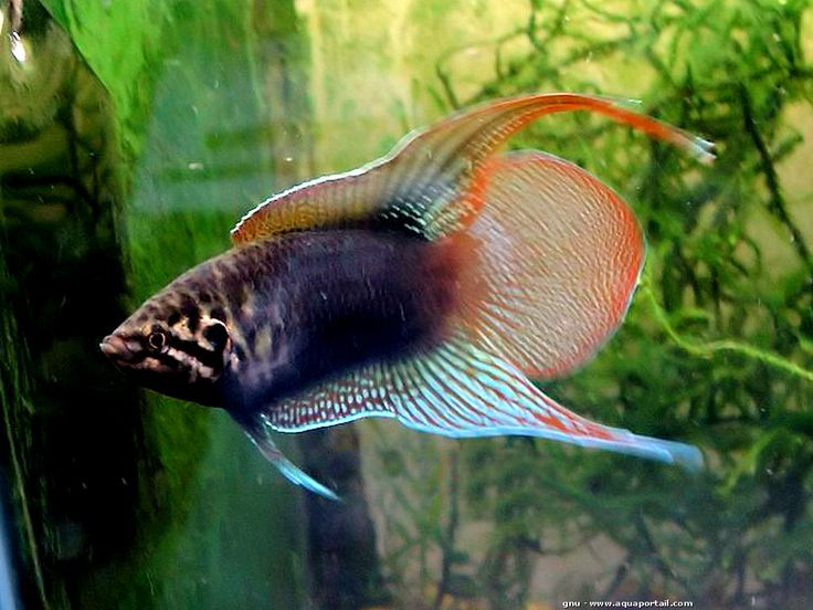 17 best images about beautiful bettas fantastic fish on for Freshwater pond fish