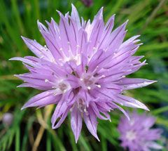 Chives - can grow in semi-shade. Good border plant for guilds, insect attracting, nutrient accumulator (potassium, sodium, calcium)