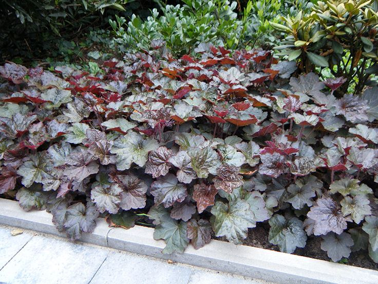 heuchera micrantha 39 palace purple 39 mijn tuinplanten h. Black Bedroom Furniture Sets. Home Design Ideas