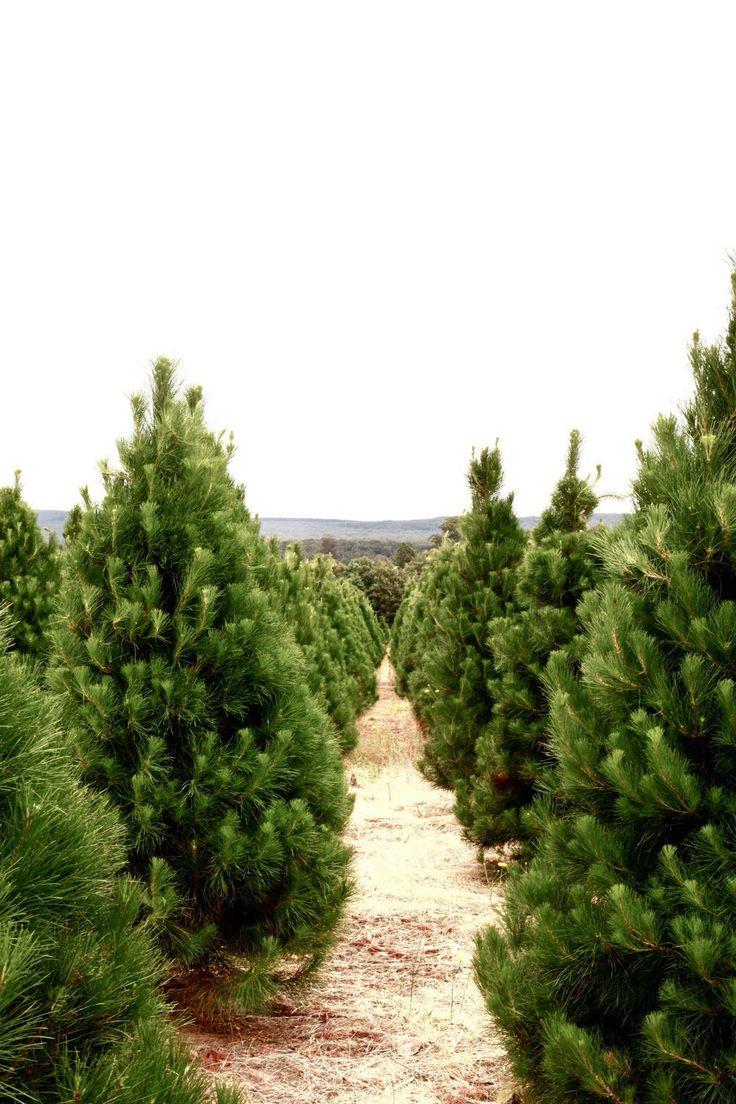 Christmas Tree FarmPhotography Print Wall Art Lake