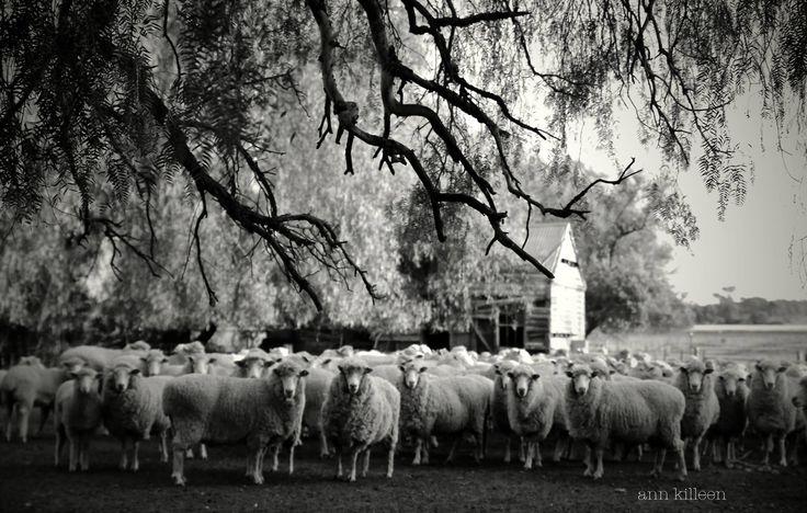 Shearing at Chambers Rosewood Rutherglen