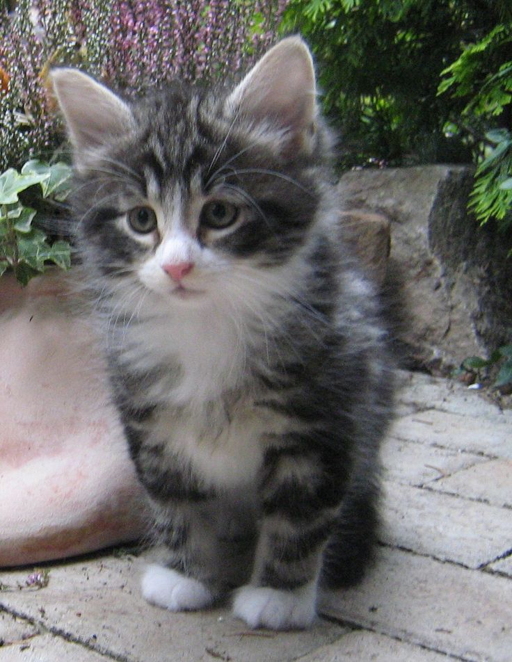Since my Cosmo was a rescue in 08 at almost 4 years of age then,maybe this was what he looked like as a kitten.