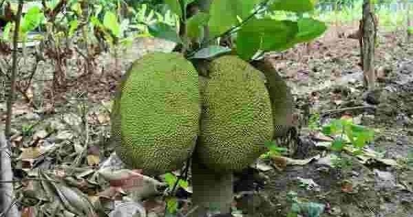 कटहल खाने के फायदे | Benefits of eating jackfruit in hindi | kathal ke phayde | jackfruit benefits in hindi