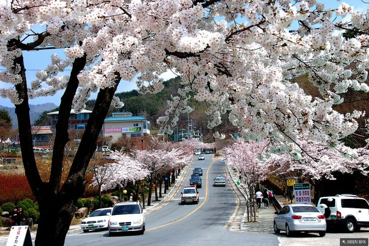 korea cherry blossoms festival daegu palgongsan mountain